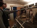 The morning milking